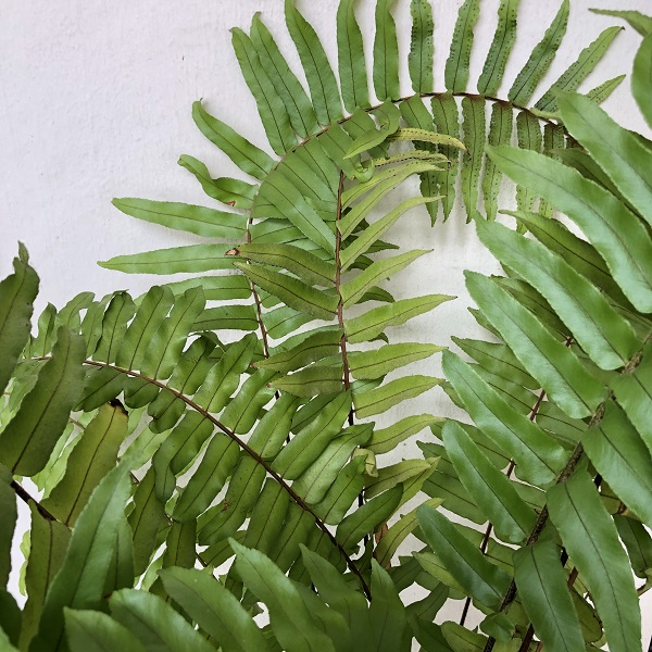 Plants Beneficial to Indoor Air Quality - Boston Fern