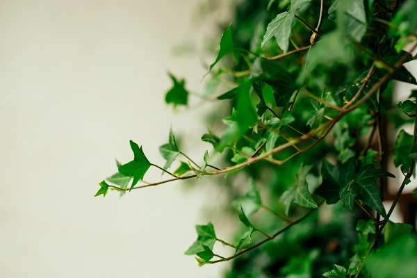 Plants Beneficial to Indoor Air Quality - English Ivy