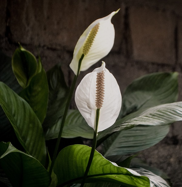 Plants Beneficial to Indoor Air Quality - Peace Lily