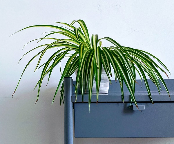 Plants Beneficial to Indoor Air Quality - Spider Plant